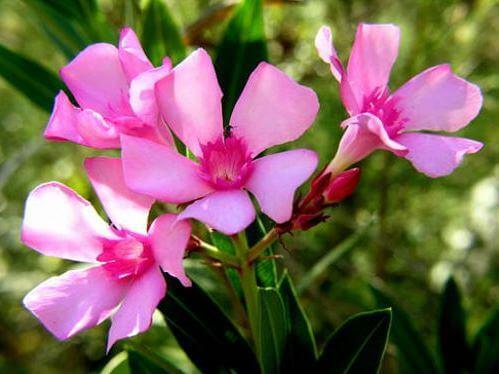 laurel-de-flore