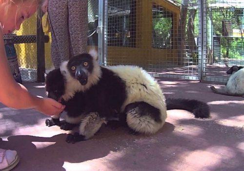 Lémures Selwo Aventura 1