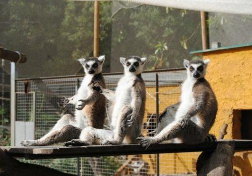 Lémures Selwo Aventura 2